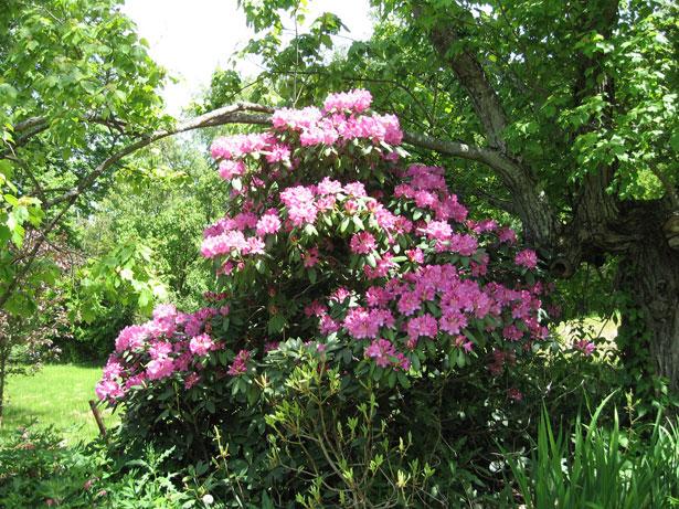 RhododendronBush