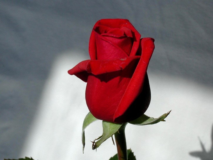 rose-photograper-studio