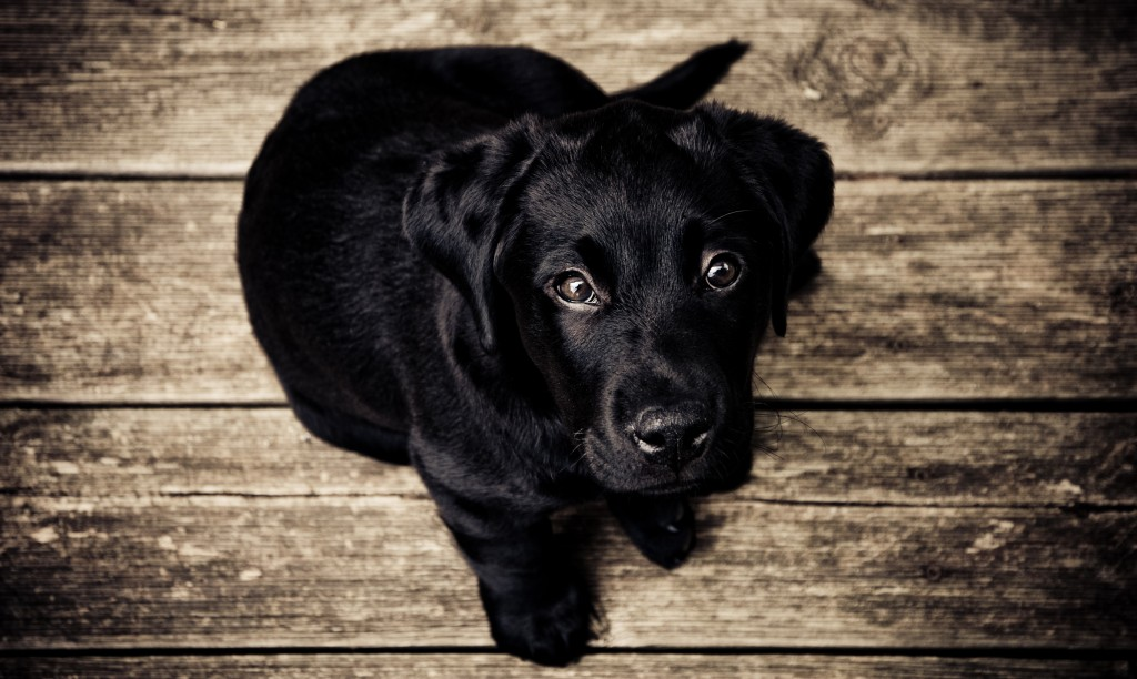 blacklabpuppy