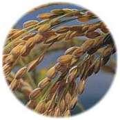 rice_kernels